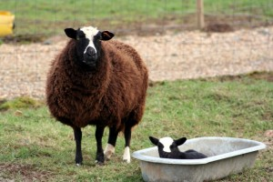 A Rare Breed — Of Sheep and Civil Servants